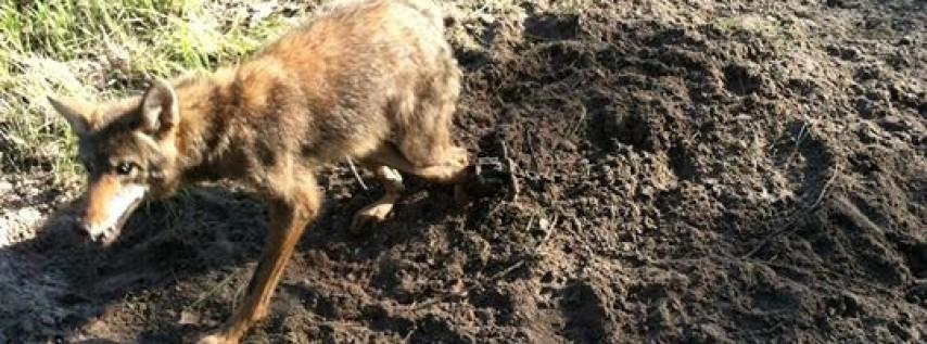 Big bully coyote predator control