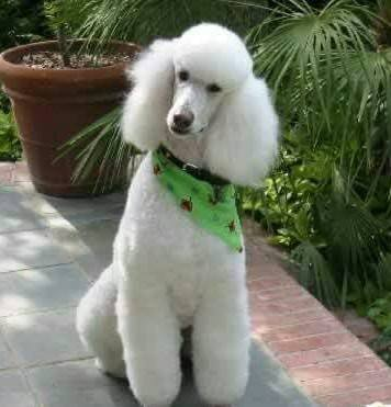 Florida Poodle Rescue Other Westshore District Saint