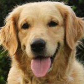 Golden Retriever Rescue Of Mid Florida - Other - Downtown