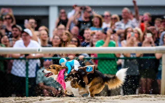2nd Annual Tampa Corgi Races at Tampa Bay Downs