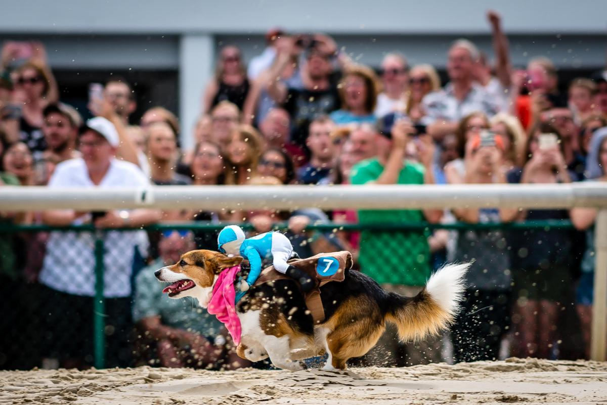2nd Annual Tampa Corgi Races at Tampa Bay Downs
