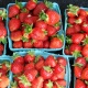 U-Pick Strawberries | Strawberry Picking in Tampa Bay