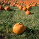 Best Pumpkin Patches, Fall Festivals, Hay Rides and Corn Mazes in Tampa Bay for The Kid in All of Us