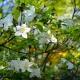 North Carolina's Azalea Festival to Bloom Once Again