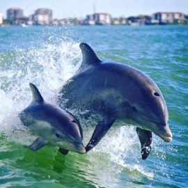 Best Dolphin Watching Boat Tours in St. Pete / Clearwater Area