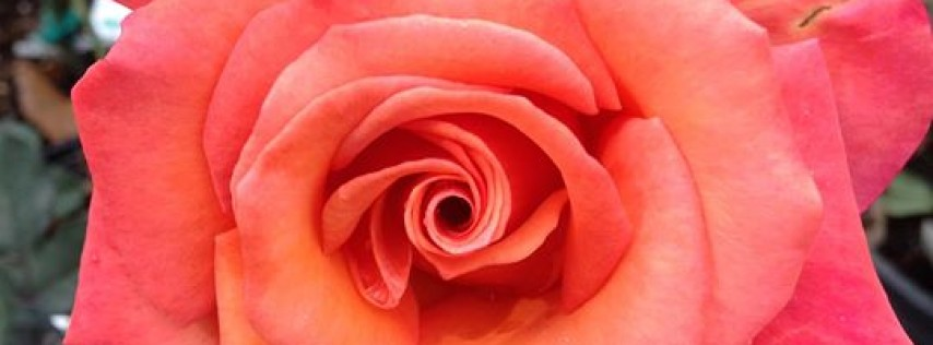 The Fragrant Rose - Annual Rose Show