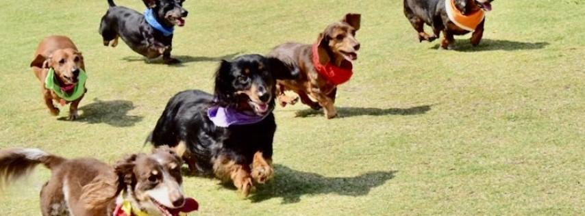 The 3rd Annual Oktoberfest Dachshund Races