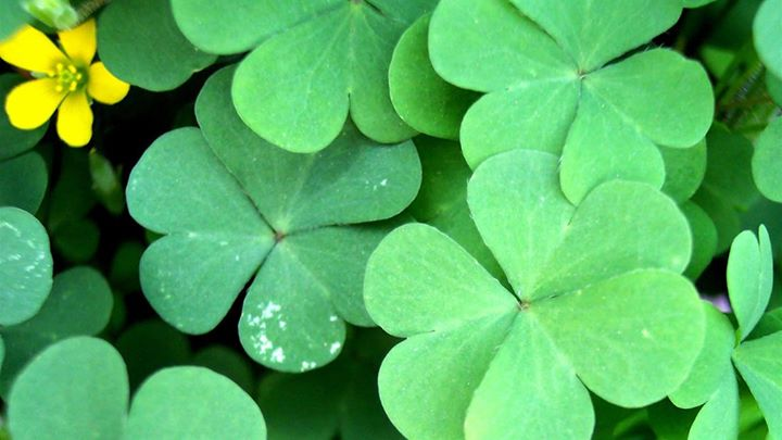 St. Patrick's Day at Wild Rover