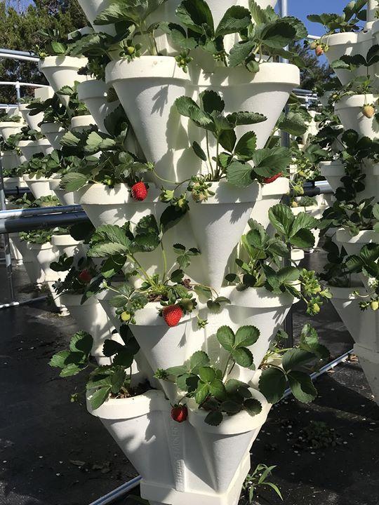 Strawberry U-Pick In December