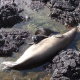 Swim Down To The Waikiki Aquarium For An Evening With Monk Seals