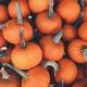 Pumpkins and Cocktails with Halloween | Wild Corgi Pub Denver