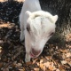 Sweetwater Goat Yoga