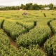 Corn Maze at Denver Botanic Gardens