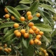 6th Annual Florida Loquat Festival