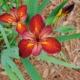 Louisiana Irises: From the Wild to the Garden