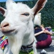Cinco De Mayo! GOAT YOGA Richardson!