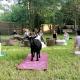 Cinco De Mayo (May 3) Summerville Goat Yoga at Flowertown Charm Mini-Farm