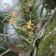 Native Orchids and Epiphytes of Pinellas County