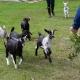 Goat Yoga at Tattooed Moose