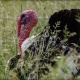 Regenerative Farming Tour: Heritage Breed Turkeys