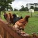 Backyard Poultry Seminar