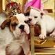 2020 Annual Bulldog Beauty Pageant