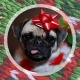 Pugly Christmas Sweater Party