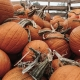 Denver Beer Co Olde Town Arvada Halloween Pumpkin Patch & Painting Party!