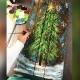 Christmas Tree!: Pasadena, Greene Turtle with Artist Katie Detrich!