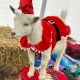 Goat Yoga Nashville- New Year Eve Class