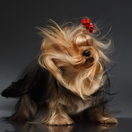 AKC National Championships, the largest dog show in the country, comes to Orlando this weekend5