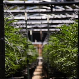 SUNY college to offer classes on growing marijuana45