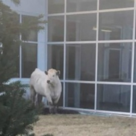 Loose cow runs across street to Indiana Chick-Fil-A244