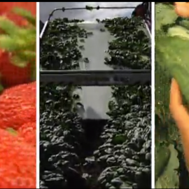 Strawberries, spinach, kale named as produce with the most pesticides244